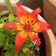 Red Tiger Lily  #tigerlily #red #raindrops #flowers #loveflowers #blogger #like #366daysofhappiness #366happydays #myhome #myplants #myflowers #mygarden #flower #flowerstagram #floweroftheday #flowerphotography #nofilter #nature #naturalbeauty #like4like #instalike #instagram #rachelbustinblog #blog #photochallenge