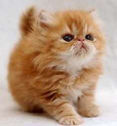 Beautiful Persian kitten *[I would name this kitty, Tiger Lilly!]