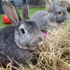 Did you know that rabbits' teeth never stop growing?! 🦷 Overgrown teeth are extremely painful to rabbits and can cause multiple health issues. This is why it is so important that your rabbits' diet is rich in quality feeding hay and grass as they help to wear down their teeth naturally. In fact, a rabbits' daily diet should be made up of 85% hay or grass. So remember, 85% hay a day keeps the dentist away! Rabbit Diet, Health And Wellbeing, Health Problems, Rabbits, Teeth, Grass, Bunny, Cute Bunny, Bunnies