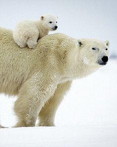 Polar Bear Mom & Cub