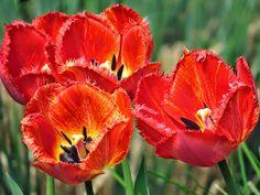 -neuer Gartentraum- #Crispa-Tulpen