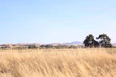The golden fields of Martinborough