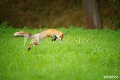 Red fox on hunt, mousing in grass field