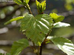 Pine Forest, Jpg, Plant Leaves, Google, Plants, Image, Plant, Planets