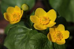 Marsh Marigold/Cowslip – Welcome to a photographic journey through ...