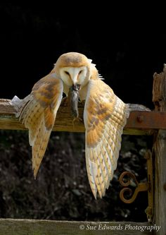 Mantling - Barn Owl protecting its catch