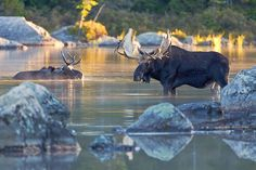 Two bull moose in Sandy Stream Pond, Baxter State Park, Maine.