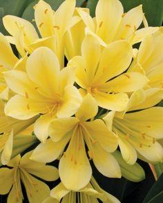 Clivia Miniata -blooms in the winter