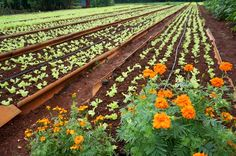 Almost all farms I visited used marigolds at the ends of their beds as an organic insect repellent.  The photos above and below are from Vivero Alamar outside Havana.  This farm has received international funding, employed over a hundred farmers and utilized some advanced organic farming techniques, like devices attached to the irrigation hoses to magnetize the water.  Although I had watched a video documentary of this farm before coming to Cuba in which a Mexican volunteer explained that it…
