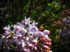 Bez/Lilac