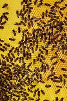 Et bisamfunn består av en dronning, noen hundre hannbier (droner) og mange tusen arbeidsbier.  Foto: Tommy Andresen Beer