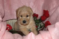 Mini Puppies, Cute Puppies, Labradoodle Puppies For Sale, Pennsylvania, Dogs, Animals, Animales, Labrador Puppies For Sale, Animaux