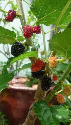 Growing Mulberry in Containers: How to Grow Mulberry Tree in a Pot Mulberry Fruit, Mulberry Tree, Garden Plants, Indoor Plants, Garden Web, Balcony Garden, Vegetable Garden, Container Gardening, Gardening Tips