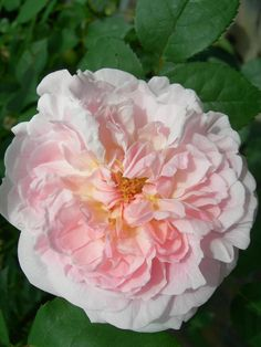 'Miss Alice' | Shrub. English Rose Collection. Bred by David C. H. Austin (United Kingdom, 2000).