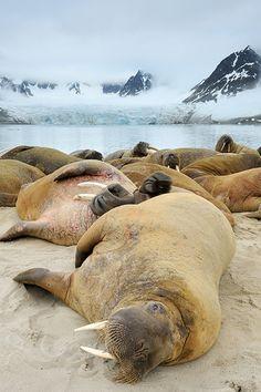 Walrus, Midnight in Svalbard - Svalbard (by Yves Adams)