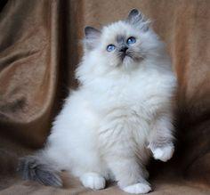 gatos angora cinza - Pesquisa Google