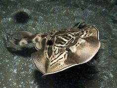 Eastern fiddler ray