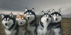 Whoever got five huskies to pose for this picture is a god. seriously.