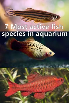 Fish keeping can be an astounding, charming leisure activity, when it come to choice a species, fish activity is an important thing. 7 Most active fish species in aquarium TheBuzzLand thebuzzland Animals Fish keeping can be an astounding, charming Tropical Fish Aquarium, Tropical Freshwater Fish, Tropical Fish Tanks, Freshwater Aquarium Fish, Aquarium Fish Tank, Planted Aquarium, Aquarium Ideas, Danio Fish, Platy Fish