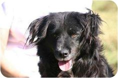 Manning, SC. SPECIAL NEEDS. LYDIA is an older girl w/ a huge heart.lab/Collie mix. WhenI arrived here, I was pregnantwith 10 lil ones.They've all been adopted, but Im still waiting on my FURever home.Ive got a few med. conditions- nothing too serious: hip-dysplasia which causes me alot of pain.Im kept on metacam. Heartworm +. So I will have to stay on heartguard. I really love short walks&wld love to be a devoted companion 4 a quiet adult family.  803-473-7075 or  adoptascc@ftc-i.net