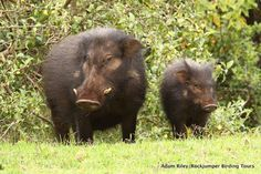 The giant forest hog, the only member of its genus, is native to wooded habitats in Africa. The giant forest hog is, on average, the largest living species of suid, weighing up to just over 600 pounds.