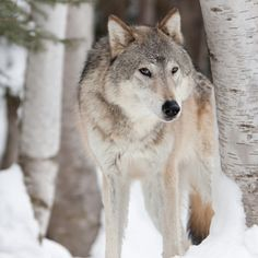 Let Me Be. Wild and Free. Save The Wolves. Save us all! Stop the Killing now!