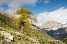 Herbstliches Gepränge am Mot Tavrü - In der Natur unterwegs Wordpress, Country Roads, National Forest, Mountains, Alps, Hiking, Nature