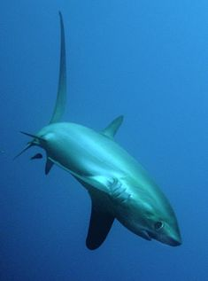 Malapascua Island Phillipines - thresher sharks, frog fish, and white sand Orcas, Thresher Shark, Save The Sharks, Types Of Sharks, Water Animals, Marine Fish, Wale, Most Beautiful Animals, Ocean Creatures
