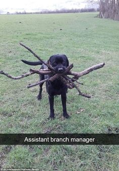 Punny: One user described their dog as an 'assistant branch manager', when he appeared with multiple large branches in his mouth