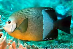 old woman angelfish (Pomacanthus rhomboides), coast of east Africa