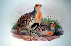 Daurian Partridge Perdix dauurica - Google Search