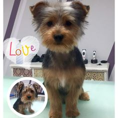 #yorky #yorkshire #yorkshireterrier #petstagram #petstagram #peluqueriacanina #peluqueriacaninazgz #peluqueriacaninazaragoza #groomingzaragoza #grooming #groomer #guauquepelos #zaragozaisstyle #pet #mascotas #perro #perros #dogstagram #doggrooming #dogsofinstagram
