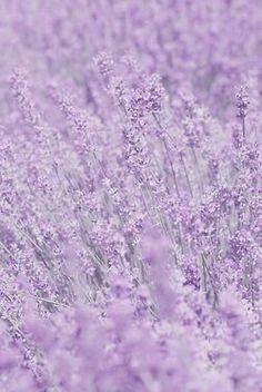 Whisper In Purple Flowers by Poppy Thomas-hill - Purple aesthetic - Light Purple Wallpaper, Purple Flowers Wallpaper, Light Purple Flowers, Purple Wallpaper Iphone, Purple Backgrounds, Light Purple Background, Soft Purple, Black Flowers, Orange Flowers