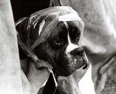 rainy day boxer dog