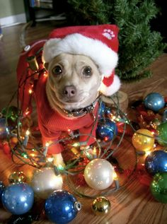christmas dog pictures check also funny pictures lol lol is in the air