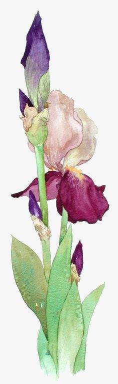 Jerianne Van Dijk WATERCOLOR - I don't like bearded iris, but this is wonderful Watercolor Cards, Watercolor Flowers, Watercolor Paintings, Watercolors, Drawing Flowers, Iris Drawing, Watercolor Tattoo, Arte Floral, Art Aquarelle