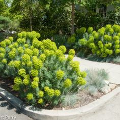 euphorbia characias subsp. wulfenii Landscaping With Rocks, Garden Landscaping, Florida Landscaping, Forest Garden, Garden Path, Garden Ideas, Dry Garden, Forest House, Backyard Ideas