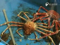 All arthropods need to molt. Here is a time lapse video of how a spider crab does it.