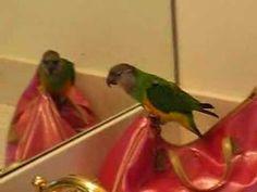 Senegal Parrot dancing - Muffin (+playlist)
