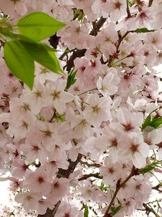 Find images and videos about nature, flower and sakura on We Heart It - the app to get lost in what you love. Blossom Trees, Cherry Blossoms, Minho, Peach, Spring, Nature, Plants, Photography, Beauty