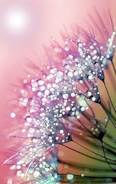 Bellasecretgarden — phinilez:     rainbow dandelion by Joke Vermeer