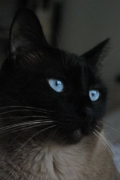"""""""It is in their eyes that their magic resides."""" --Arthur Symons - beautiful Siamese cat."""