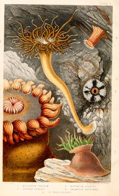 Actinologia britannica : a history of the British sea-anemones and corals.  By Gosse, Philip Henry, 1810-1888