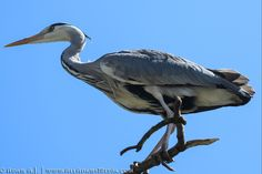 Grey Herons are often seen in Ireland. Birds breeding in Ireland do not migrate for winter and birds from Britain and… by adam-aj Grey Heron, Stock Photos