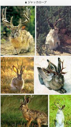 ウサギに鹿の角が生えた『ジャッカロープ』という生き物の存在を始めて知り、大変感動している。可愛すぎかよ。存在も存在背景も可愛すぎかよ 河童かよ