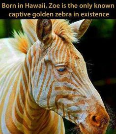 The only Golden Zebra in existence.