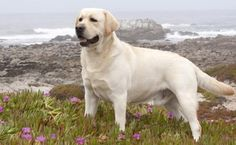 Mind Blowing Facts About Labrador Retrievers And Ideas. Amazing Facts About Labrador Retrievers And Ideas. Loyal Dog Breeds, Loyal Dogs, Labrador Retrievers, Retriever Puppies, English Lab Puppies, Corgi Puppies, Chien Yorkshire Terrier, Most Popular Dog Breeds, Guide Dog
