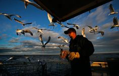Gulls are attracted to the bait bag held by sternman Brandon Demmons while working aboard a a lobster fishing boat, July 29, off of Monhegan Island, Maine. The sternman's main task is to replace bags of dead herring after the captain removes the lobsters from the hauled trap. (Robert F. Bukaty/Associated Press): July 2014 | Photos | The Big Picture | Boston.com