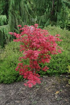 Twombly's Red Sentinel Japanese Maple (Acer palmatum 'Twombly's Red Sentinel') at Moana Nursery