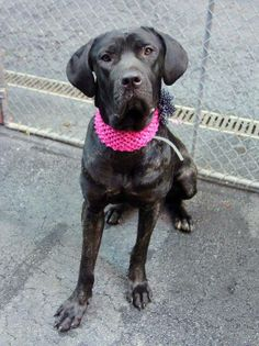 TO BE DESTROYED 05/29/14 Manhattan Center -P  My name is ONYX. My Animal ID # is A1000064. I am a female bl brindle mastiff mix. The shelter thinks I am about 2 YEARS   I came in the shelter as a STRAY on 05/16/2014 from NY 10472, owner surrender reason stated was STRAY. I came in with Group/Litter #K14-177664